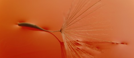 Dandelion Seed on Water