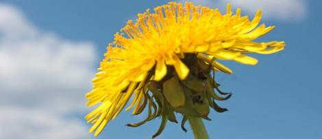 Yellow Dandelion on Sky